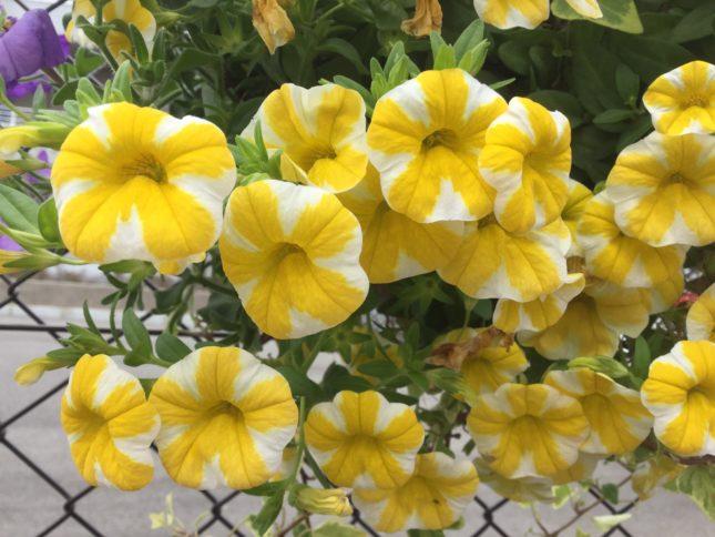 カリブラコア レモンスライス