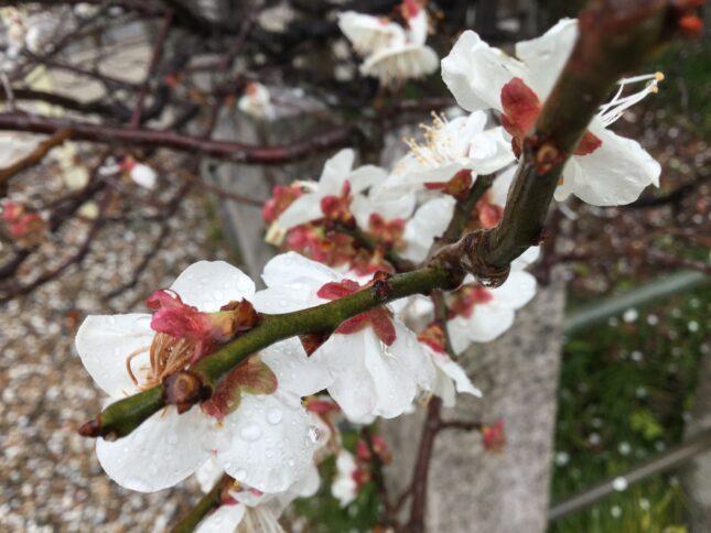 梅の花後ろ部分